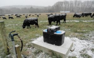 cows grazing in winter