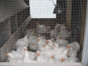 Young chickens in a wood and wire coop. Photos by New Entry Sustainable Farming Project