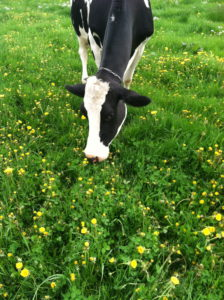 A grazing dairy cow in Central New York. Various certification programs help define agricultural practices so consumers know what they are getting.