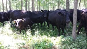 Management intensive grazing (MIG) or mob grazing, if done carefully, can reduce the height and density of the understory. MIG treatments that eliminate the understory would likely damage the overstory trees.