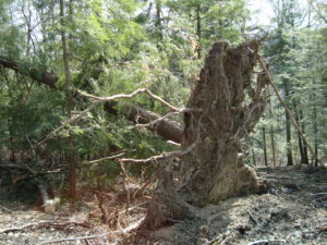Although this tree would produce lumber, cutting the tree would include the double hazard of the stem under tension and the likely re-settling of the root ball. Some trees are better left uncut.