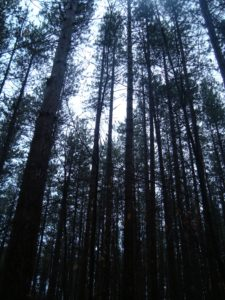 The stem exclusion stage is illustrated in this 70 year old red pine plantation. Note the tight crowding of crowns and the absence of an understory. Some of the pines are starting to die (some from Sirex wood wasp) allowing sunlight and eventually an understory to develop. In some stands, partial harvests of long-stagnant stems might trigger windthrow especially if soils are shallow.