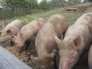 A row of pigs line up for a tasty grain treat at Albright's Dairy Farm in Climax, New York.