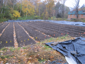 In the fall of 2015, tarps had just been removed from these beds to plant garlic. No mechanized bed-forming here, just soil built up with cardboard and mulch! (photo: Caldwell)