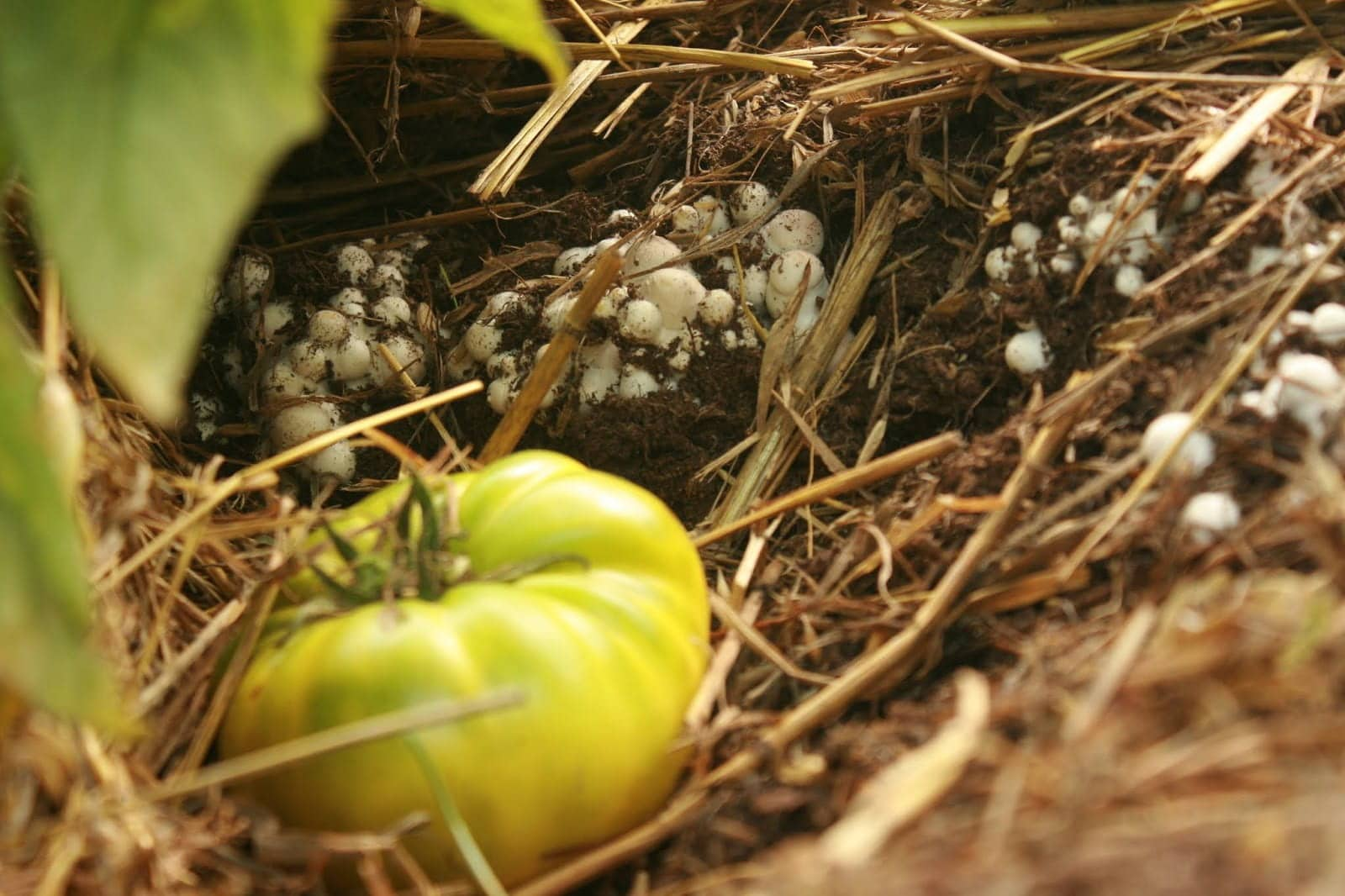 small mushrooms growing next to a fallen green tomato