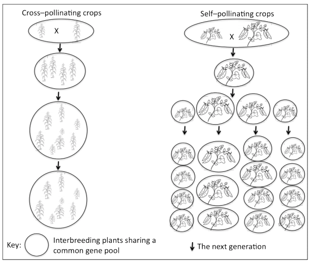 Diagram of self and cross pollination.