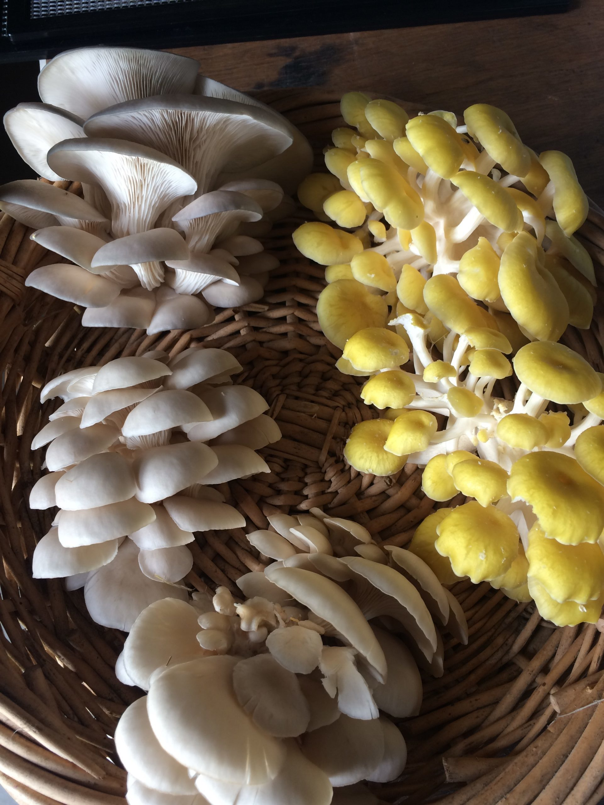 Oyster mushrooms should be harvested when they are still supple and with a small curled edge.
