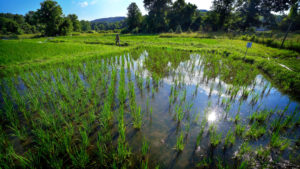 SFQ African Rice Farmers Image 1