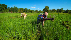 SFQ African Rice Farmers Image 3