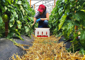 Parallel rows of staked tomato plants with a straw covered walkway; a woman wearing blue gloves harvest tomatoes, sporting a red Cornell Cooperative Extension lid.