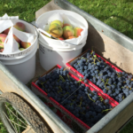 u-pick-apples-blueberries-wagon