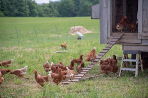 Chickens coming out of their coop in a pasture