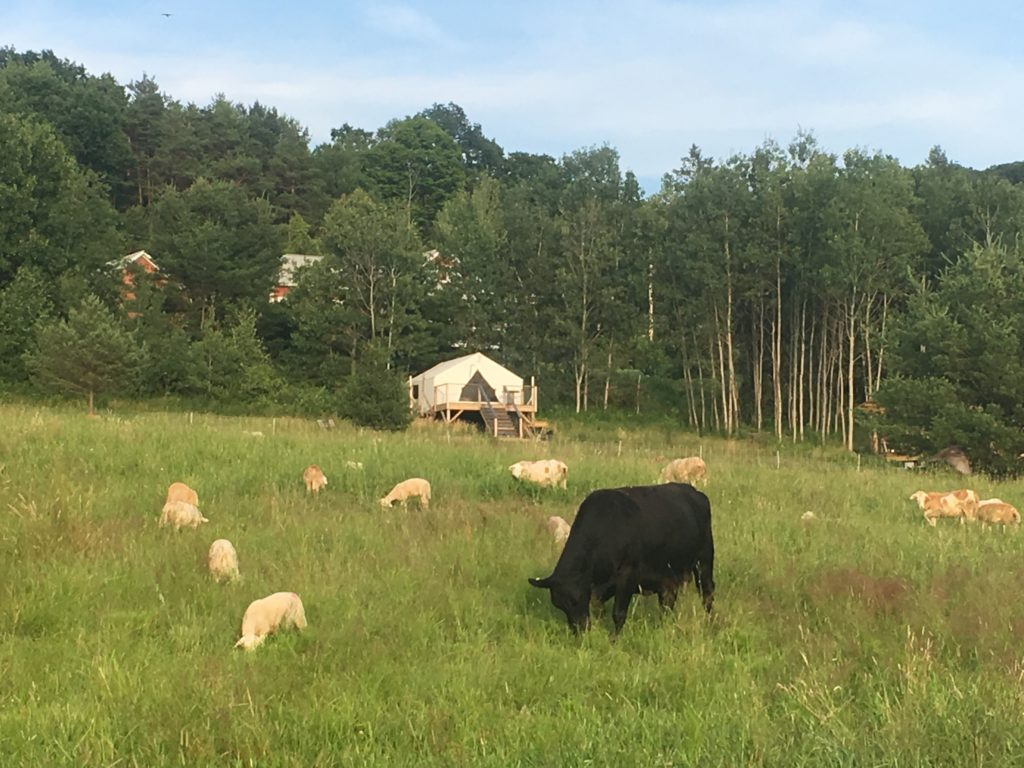 A flock of sheep and one cow graze in a pasture in front of a glamping tent.