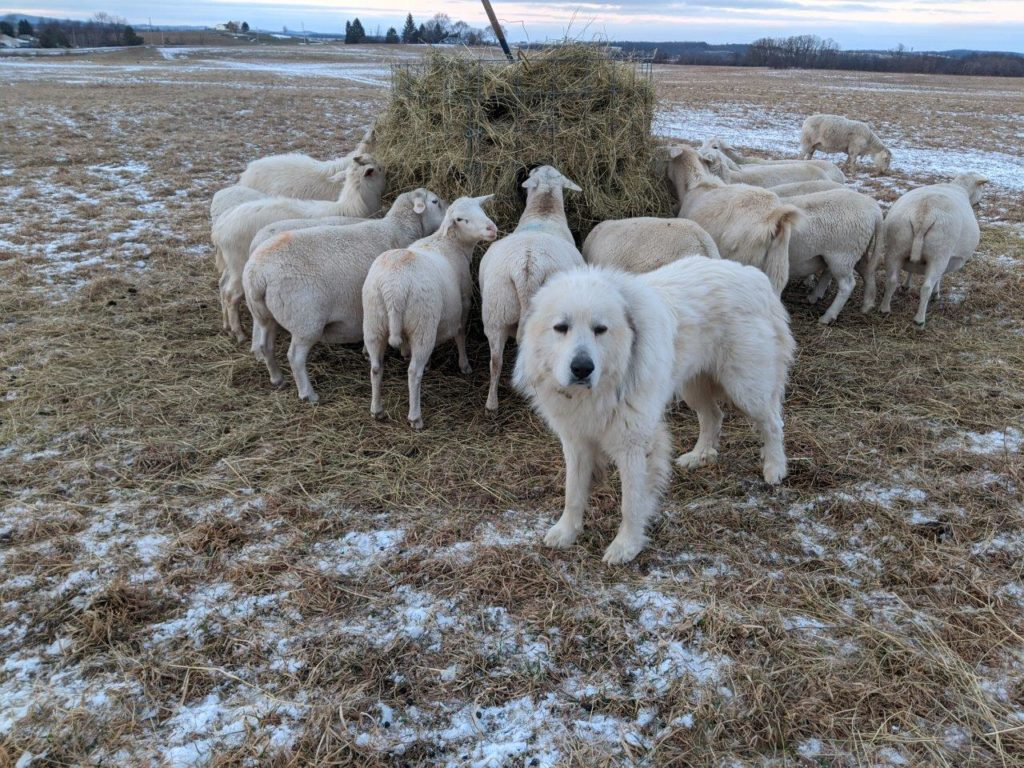 A Great Pyrenees dog stands near a flock of sheep.