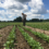 Reduced Tillage Project Uncovers Tarping Impacts for Organic Vegetable Farmers