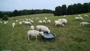 A few sheep drink out of a low trough.