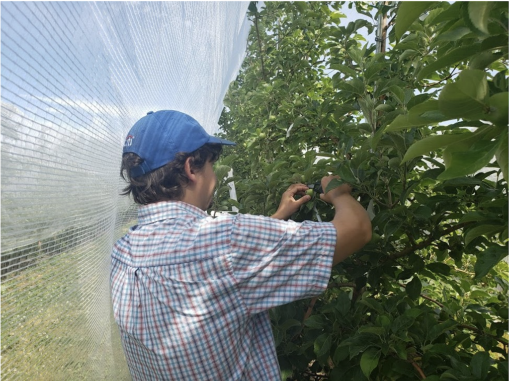 Tree Fruit Specialist Mike Basedow measuring Honeycrisp apples for the fruit growth model at an eastern New York orchard.