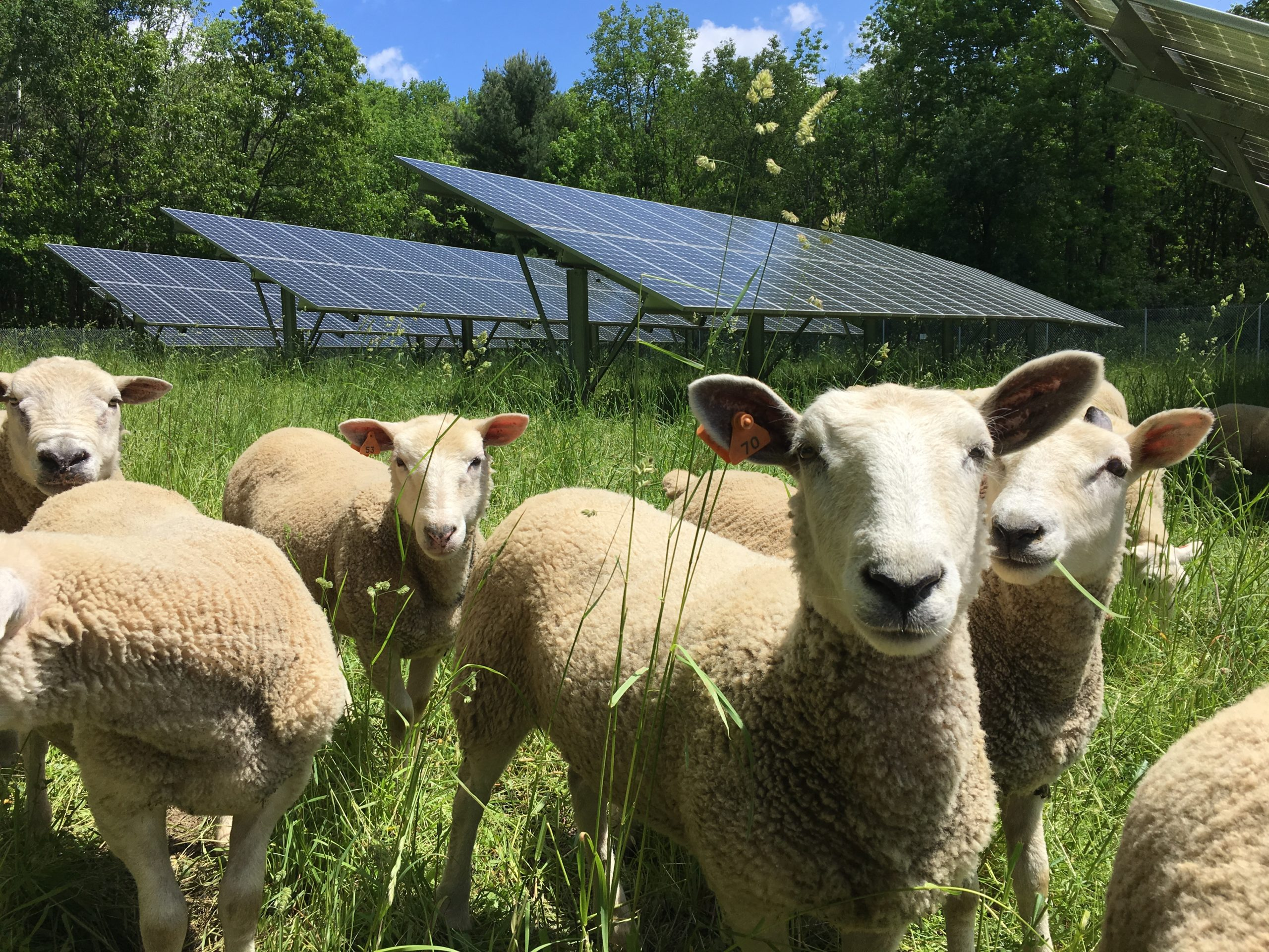 A flock of sheep stand in a pasture with solar panels in the background.