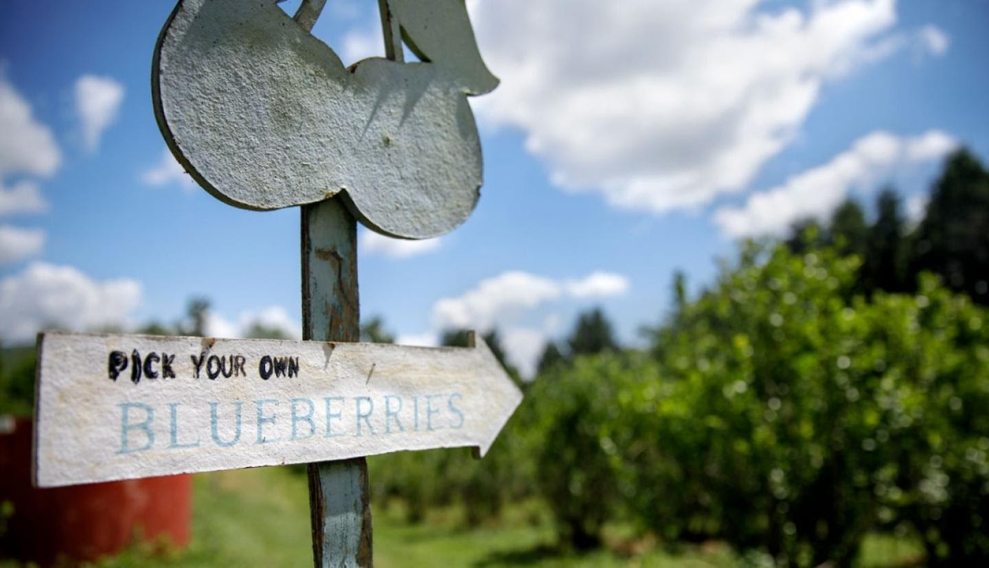 A sign on a pick-your-own blueberry farm.
