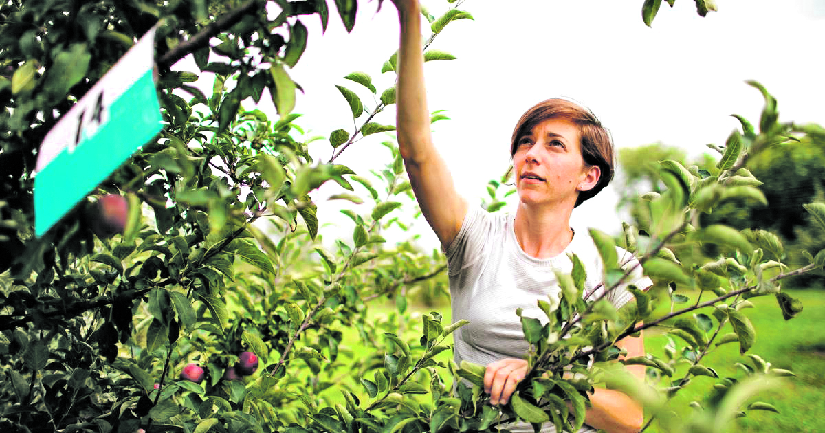 Anna Wallis, graduate student, examines trees for fire blight in a Cornell AgriTech orchard.