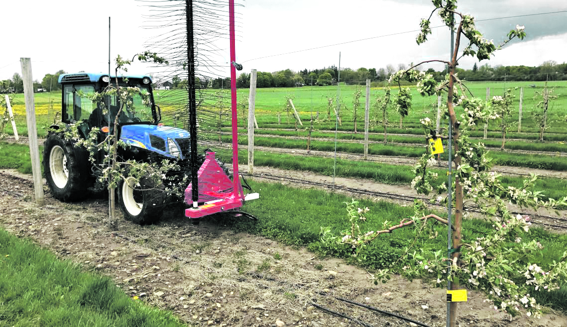 A tractor uses a mechanical thinner in a Cornell AgriTech orchard.